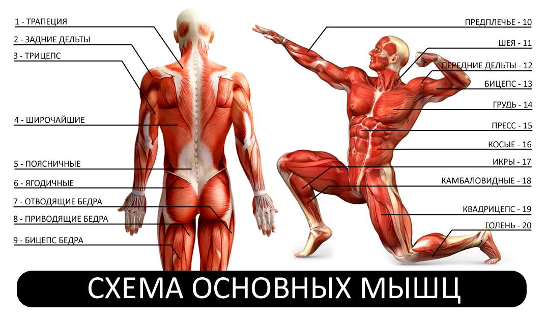 Мышцы человека и упражнения в картинках для